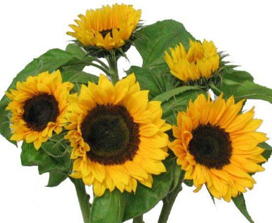 Sunflower Buches