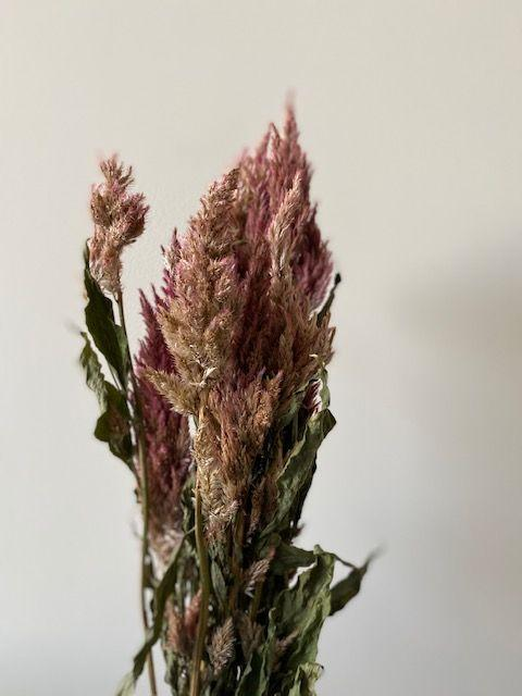 Celosia Plumosa Dried (per stem)