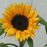 Sunflower - Yellow stem