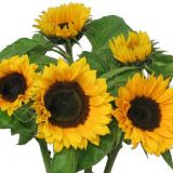 Sunflower - Yellow bunches
