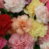 Carnations - standard various colours