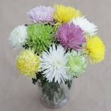 Chrysanthemum - standard various colours