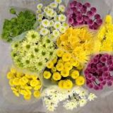 Chrysanthemum - spray various colours