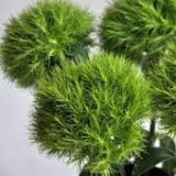 Carnations - Green Trick