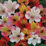 Alstroemeria (Peruvian lily) - Various colours