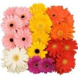Gerbera Mini - various colours