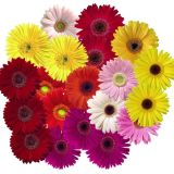Gerbera Standard - various colours