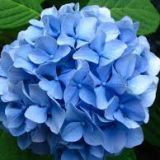 Hydrangea Blooms - per stem - Various colours