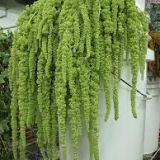 Amaranthus - Hanging  ( Love lies Bleeding )