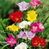 Freesias -  various colours