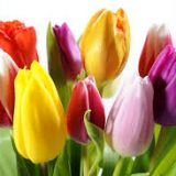 Tulips - various colours