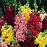 Snapdragons - various colours