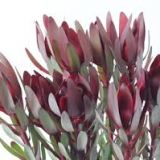 Leucodendron Red