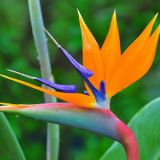 Bird of Paradise - per stem