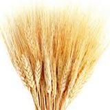 Wheat - Dried - tall - (Calgary and Hairless)