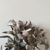 Eucalyptus Silver Dollar - Dried