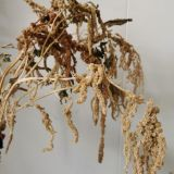 Amaranthus - Dried (dark orange mustard, black, brown)