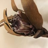 Protea - Dried
