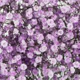 Gypsophila - Preserved - (Assorted)